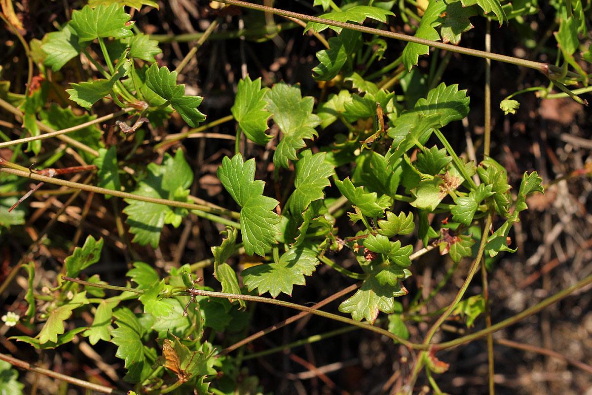 Centella obtriangularis
