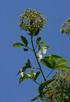 Heteromorpha arborescens var. abyssinica
