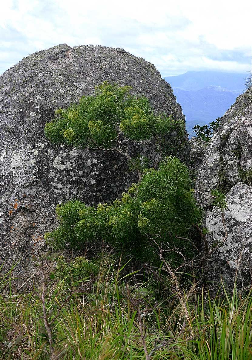 Heteromorpha arborescens var. montana