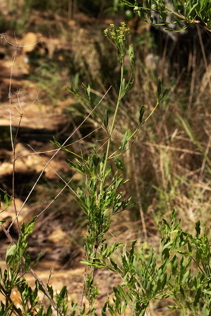 Heteromorpha stenophylla var. transvaalensis