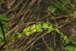 Afrocarum imbricatum