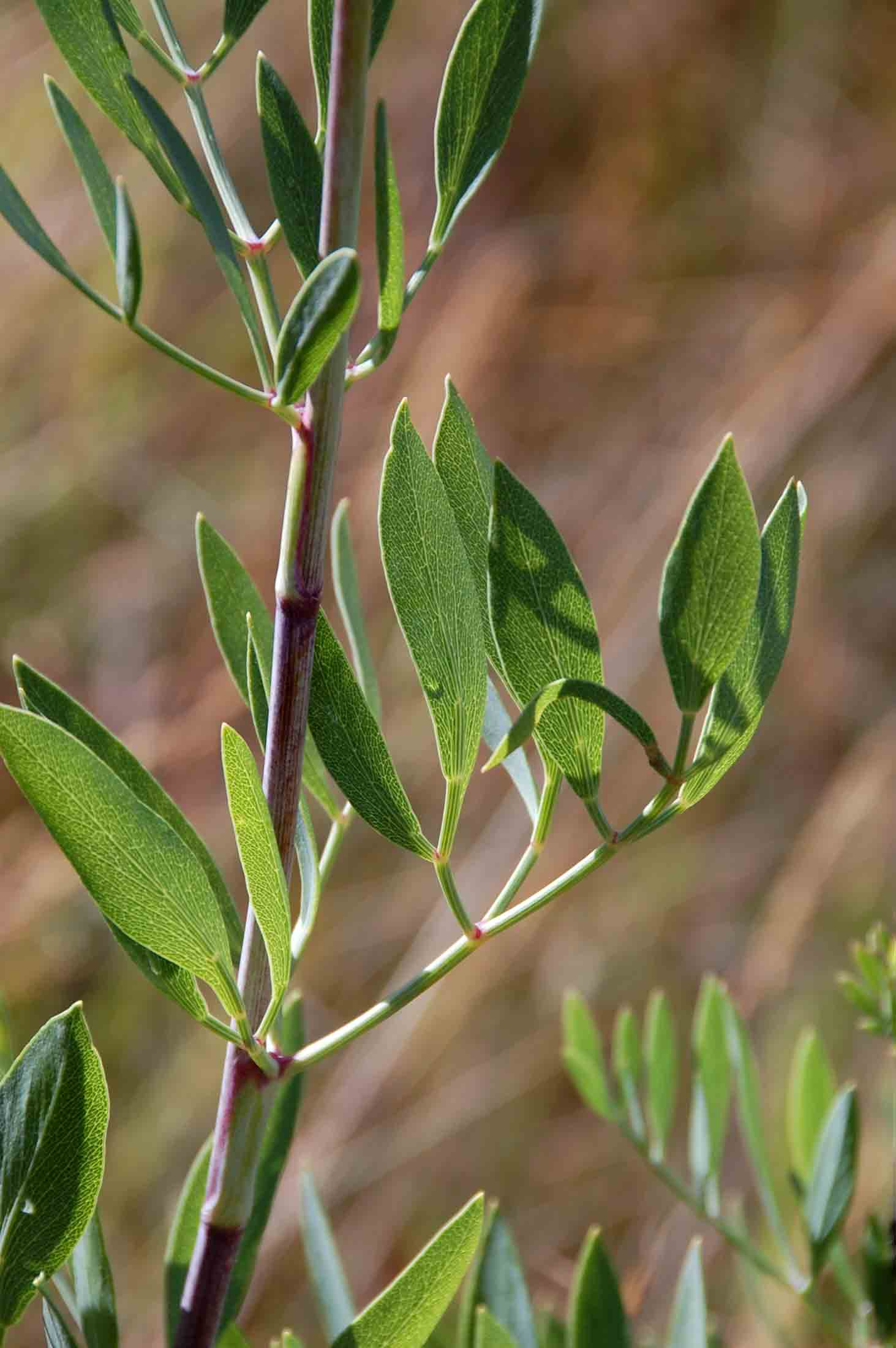 Diplolophium buchananii subsp. swynnertonii