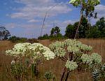 Diplolophium zambesianum