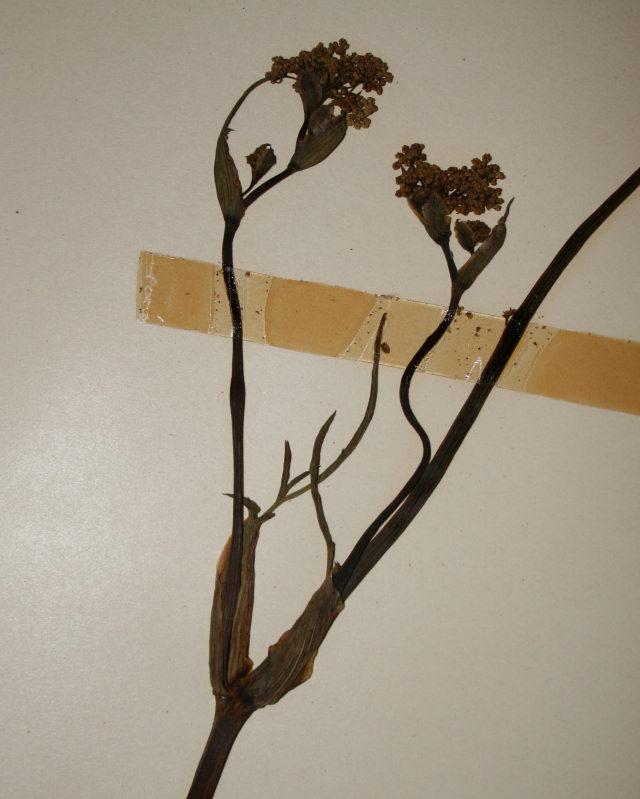 Afrosciadium eylesii