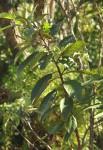 Maesa lanceolata