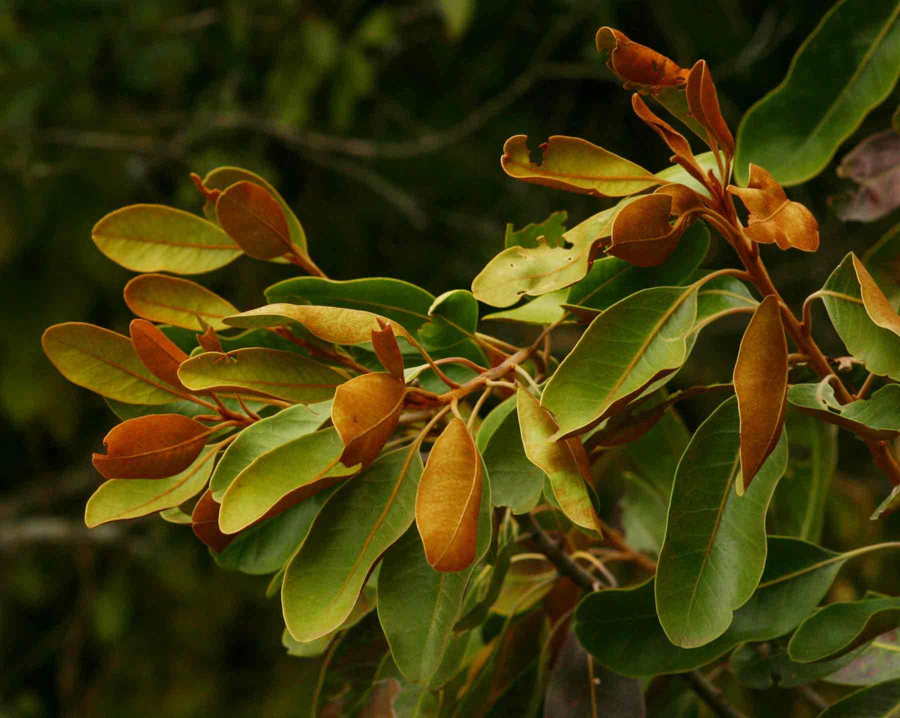 Sideroxylon inerme subsp. diospyroides