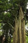 Synsepalum brevipes