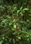 Synsepalum chimanimani