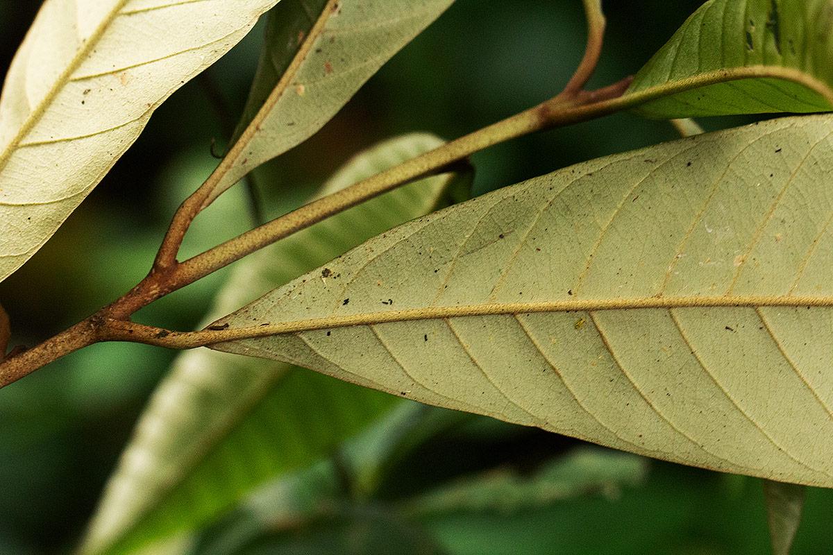 Chrysophyllum gorungosanum