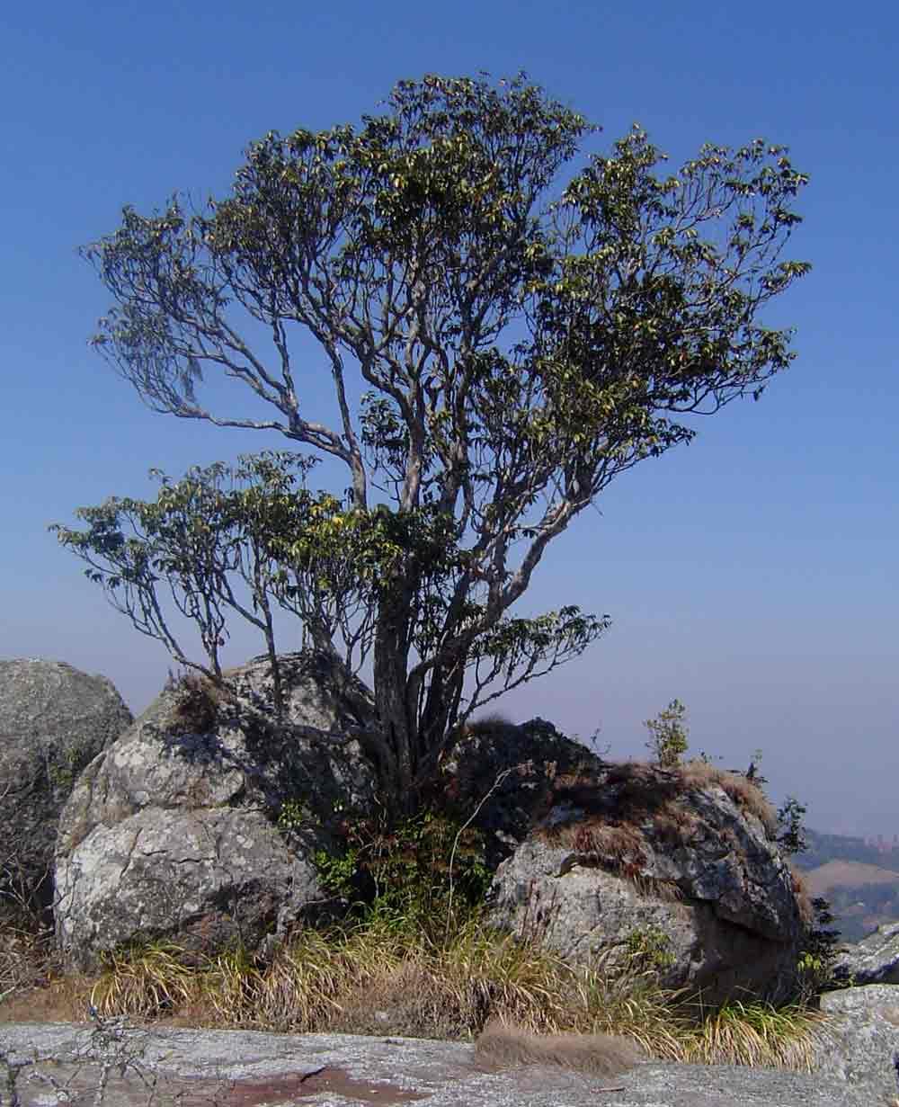 Englerophytum magalismontanum