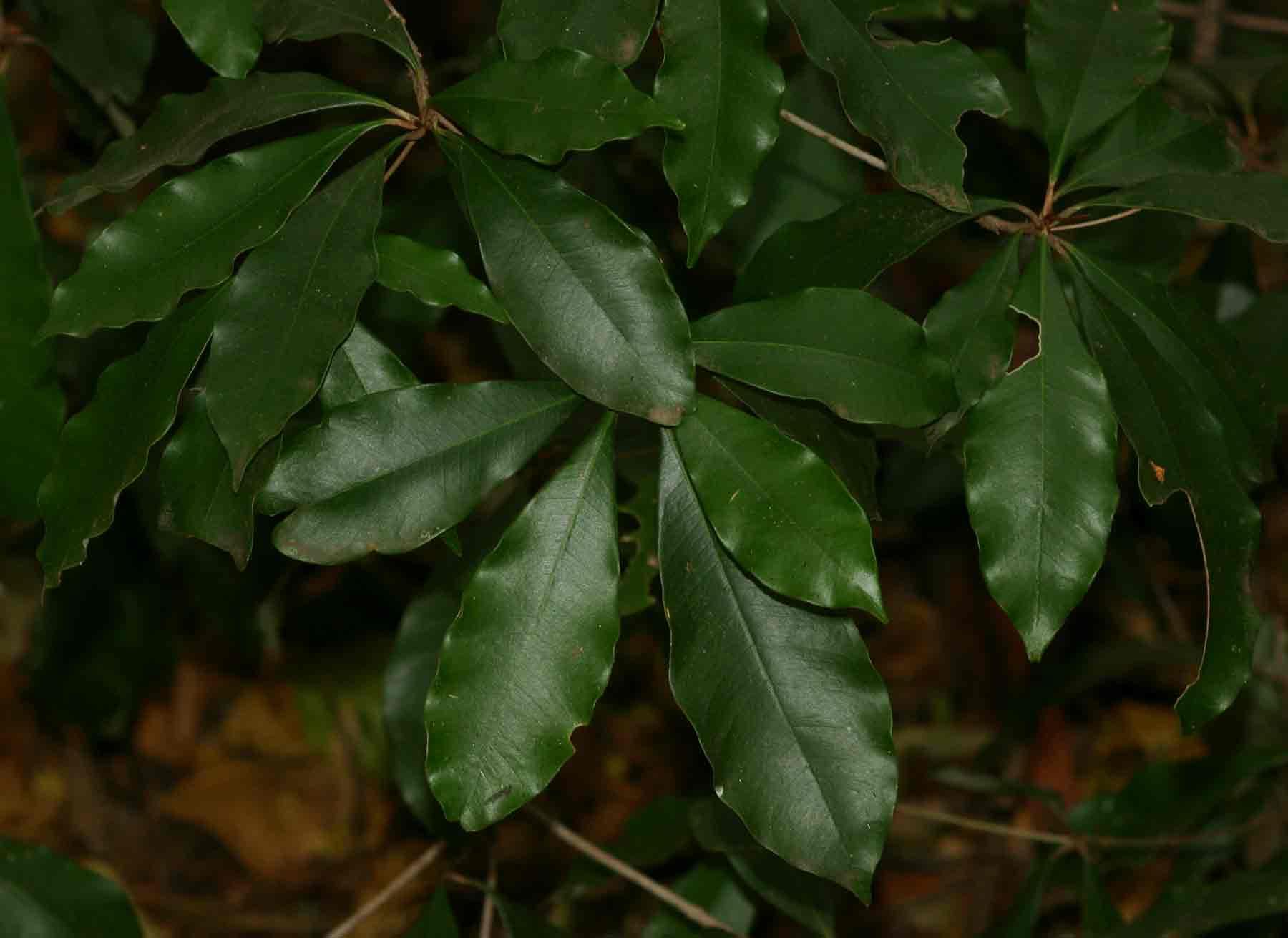 Englerophytum natalense