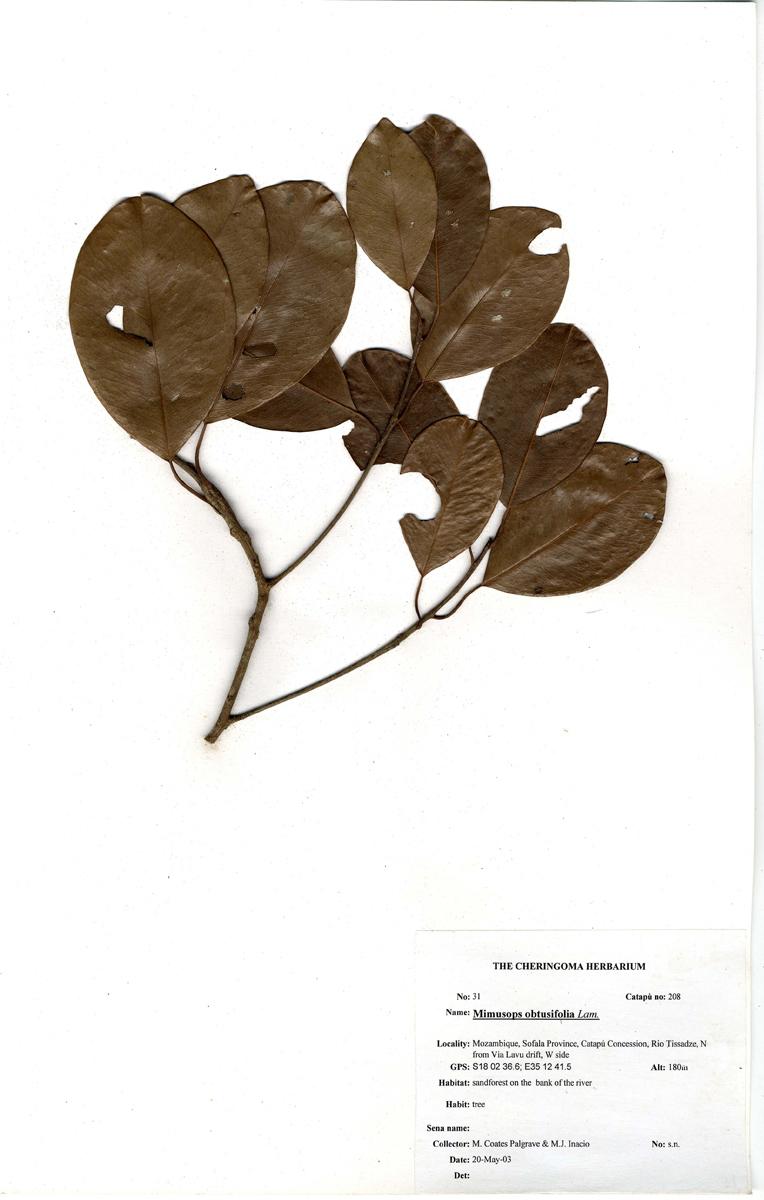 Mimusops obtusifolia