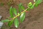 Manilkara concolor