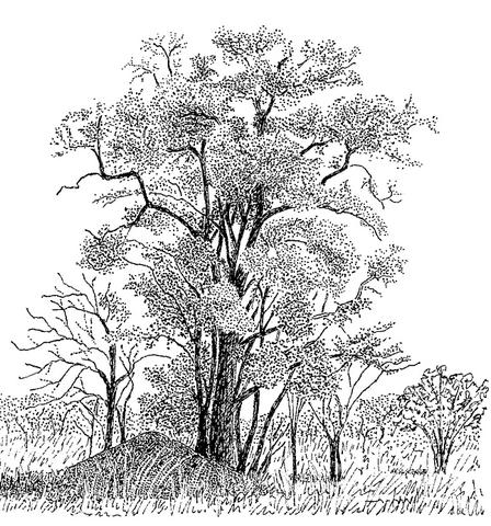 Manilkara mochisia