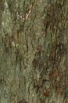 Inhambanella henriquesii