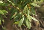 Euclea natalensis subsp. acutifolia
