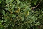 Euclea schimperi