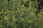Euclea undulata