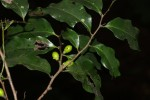 Diospyros abyssinica subsp. abyssinica