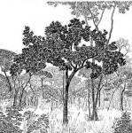 Diospyros batocana