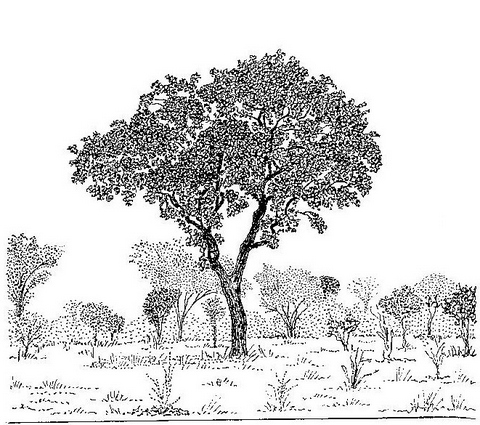 Diospyros kirkii