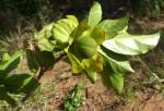 Diospyros loureiriana subsp. loureiriana