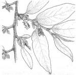 Diospyros mespiliformis
