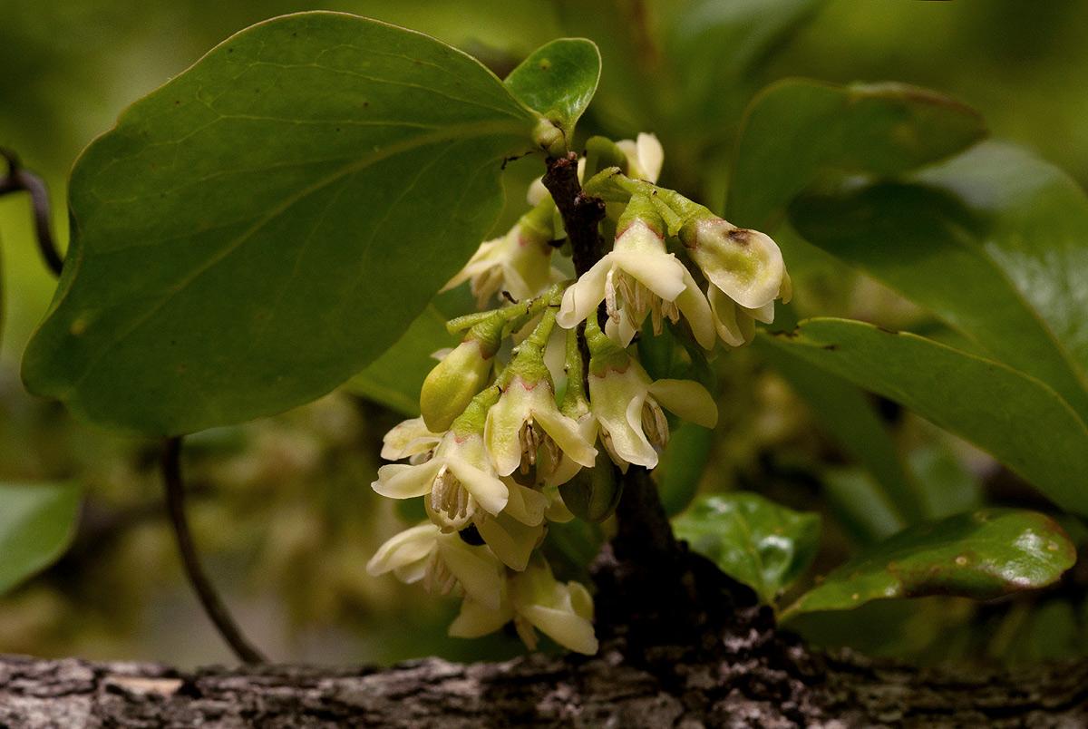 Diospyros quiloensis