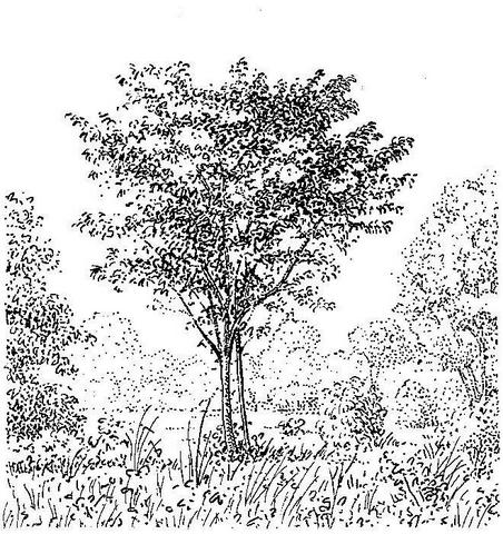 Diospyros squarrosa