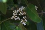 Chionanthus battiscombei