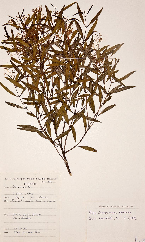 Olea chimanimani