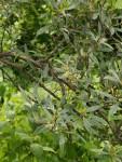 Olea europaea subsp. cuspidata
