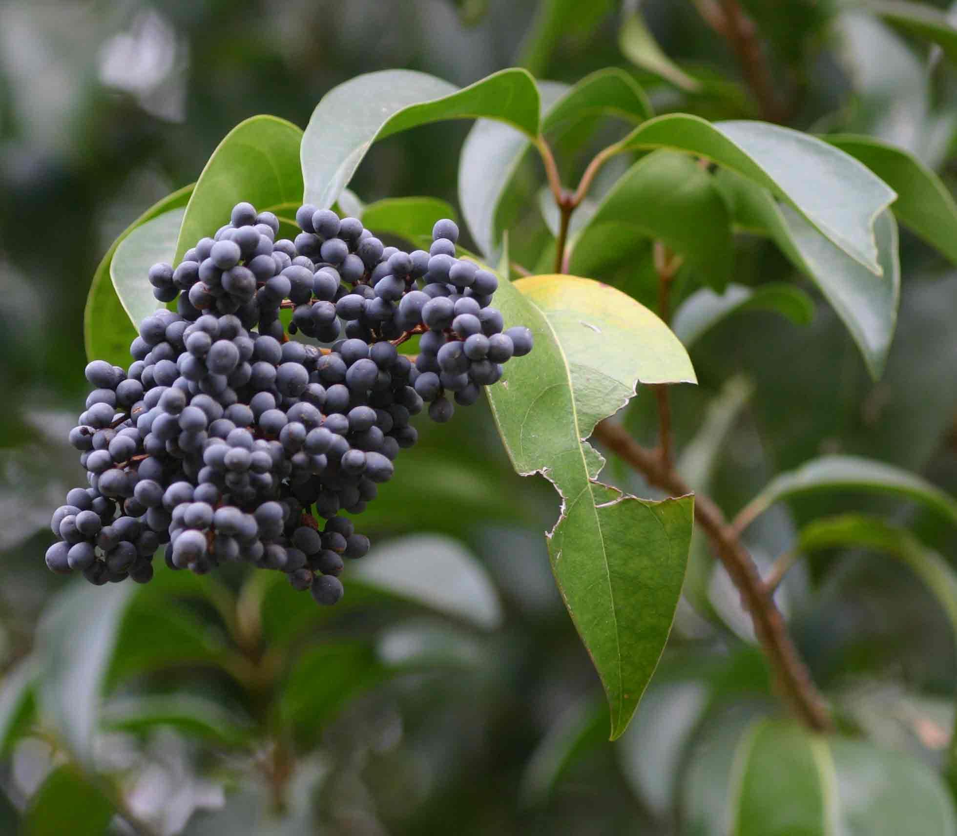 Flora of zimbabwe species information inidual images ligustrum