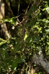 Jasminum abyssinicum
