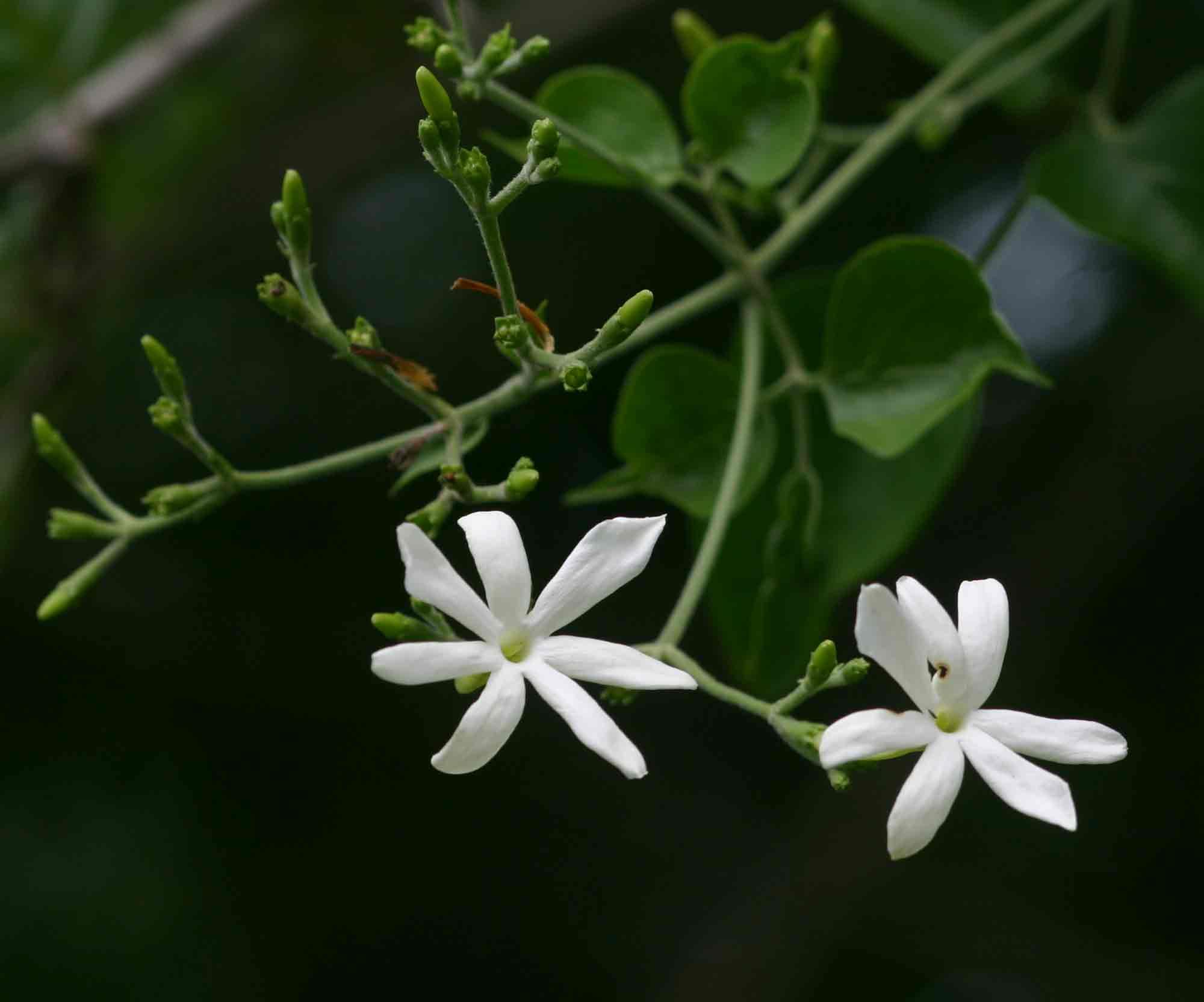 Jasminum fluminense