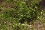 Jasminum stenolobum