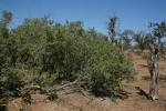 Salvadora australis