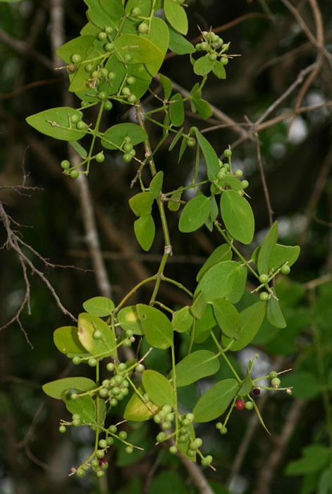 Salvadora persica var. persica