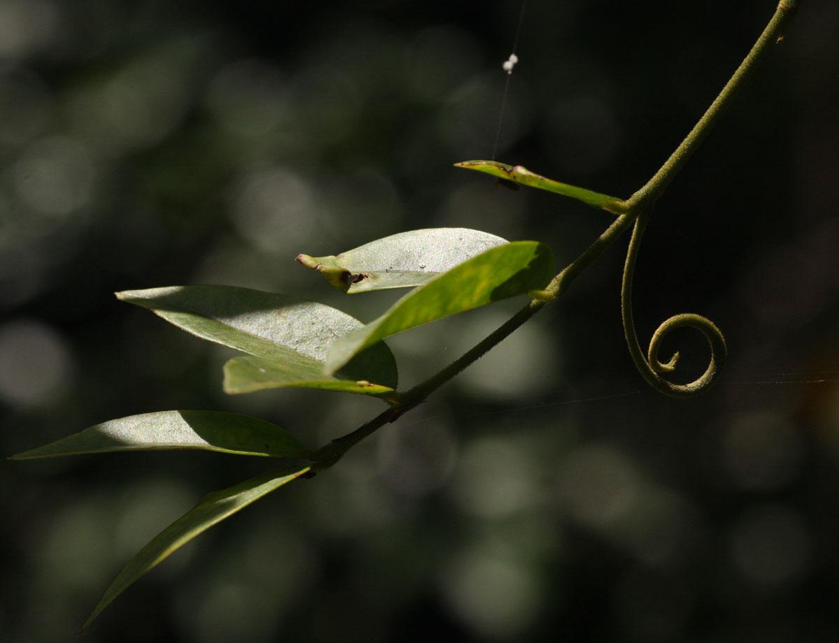 Strychnos angolensis