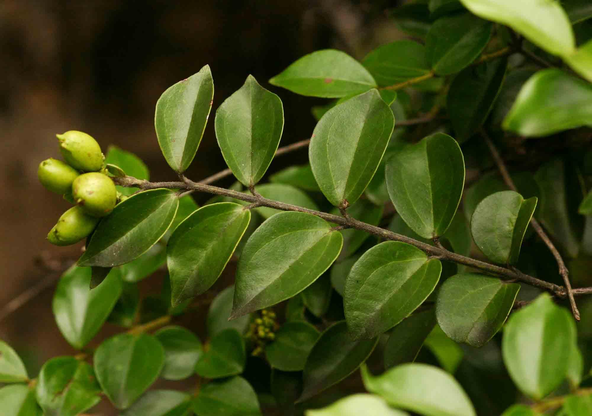 Strychnos matopensis