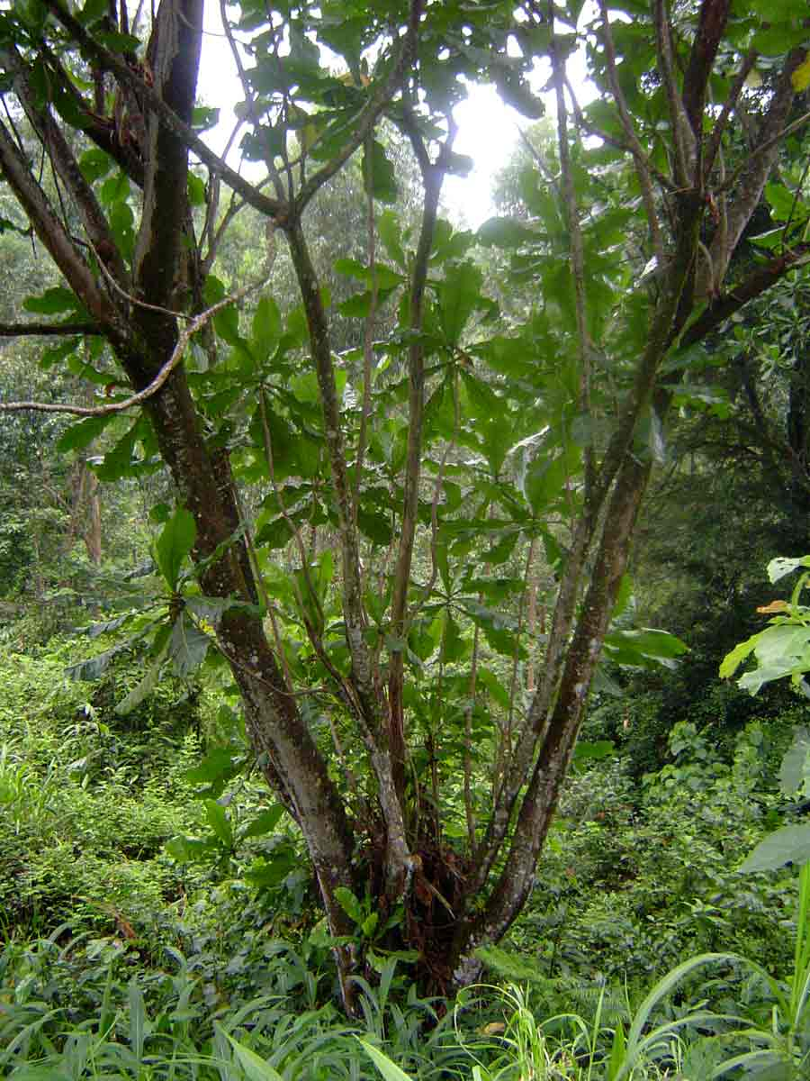 Anthocleista grandiflora