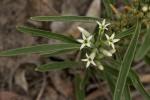 Enicostema axillare subsp. axillare