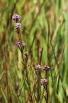Pycnosphaera buchananii