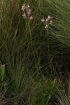 Chironia krebsii