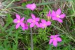 Chironia purpurascens subsp. humilis