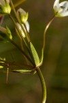 Swertia welwitschii
