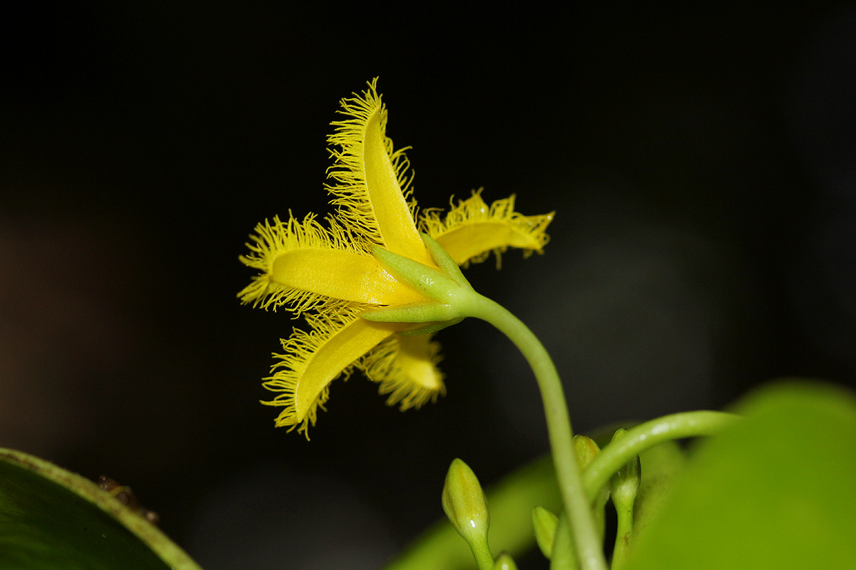 Nymphoides forbesiana
