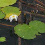 Nymphoides indica subsp. occidentalis