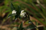Carissa bispinosa subsp. zambesiensis