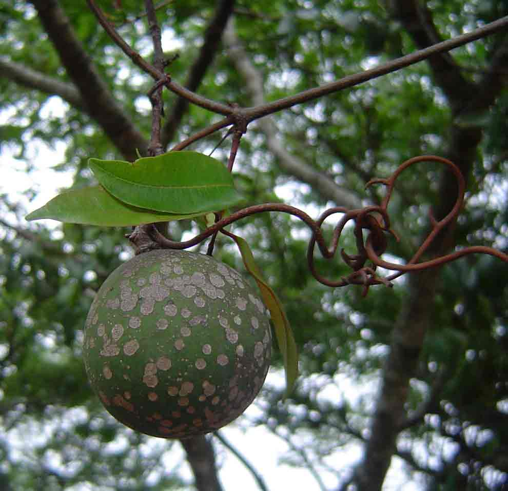 Landolphia buchananii